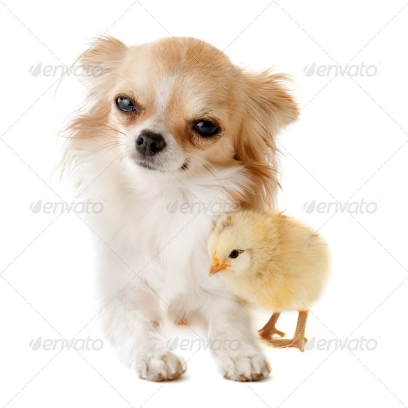 chihuahua and chick - Stock Photo - Images