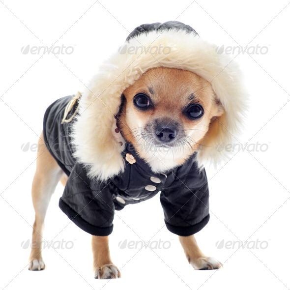 dressed chihuahua - Stock Photo - Images