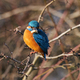 Common kingfisher (Alcedo atthis) - PhotoDune Item for Sale