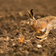 Brown hare sprinting on field in autumn sunlight - PhotoDune Item for Sale