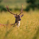 Fallow deer stag standing in long grass in spring sunlight - PhotoDune Item for Sale
