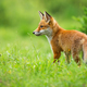 Young red fox standing on meadow in summer sunlight - PhotoDune Item for Sale