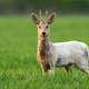Albino roe deer buck staring into camera and standing in green grass on a field - PhotoDune Item for Sale
