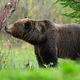 Large brown bear sniffing a tree and marking its territory in spring forest - PhotoDune Item for Sale
