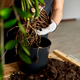 Man's Hands hold Zamioculcas plant with roots - PhotoDune Item for Sale
