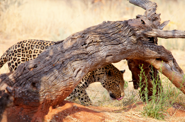 Leopard - Stock Photo - Images