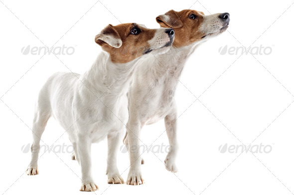 two jack russel terrier - Stock Photo - Images