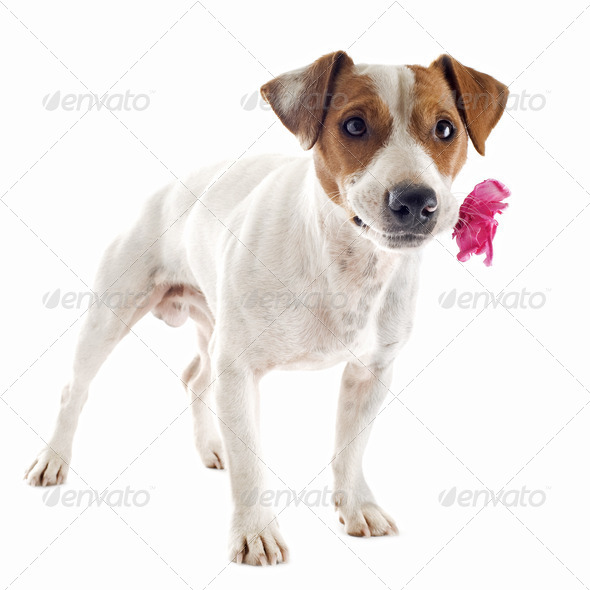 jack russel terrier with flower - Stock Photo - Images