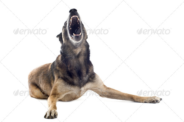 angry malinois - Stock Photo - Images
