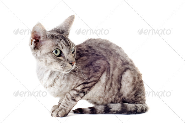 devon rex cat - Stock Photo - Images