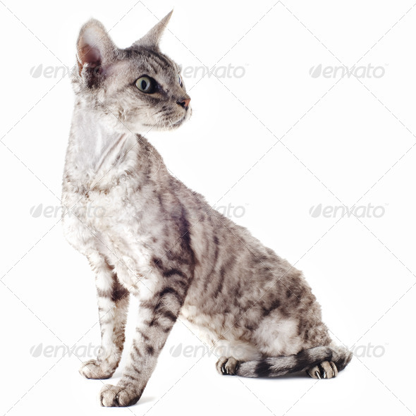 devon rex cat - Stock Photo - Images