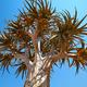 Quiver tree - PhotoDune Item for Sale
