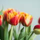 Closeup View on Bouquet of Red Tulips. - PhotoDune Item for Sale