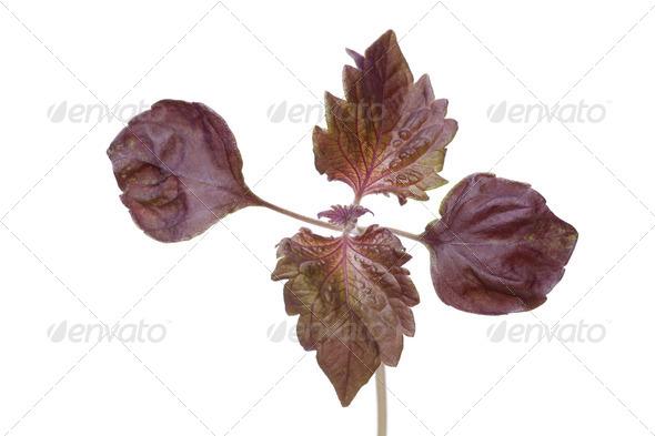 Perilla herb - Stock Photo - Images