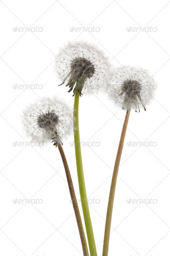 Dandelions seedheads - Stock Photo - Images