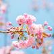Sakura flowers in bloom - PhotoDune Item for Sale