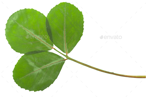 Dried flattened fenugreek leaves (Trigonella foenum-graecum), isolated,  top view - Stock Photo - Images