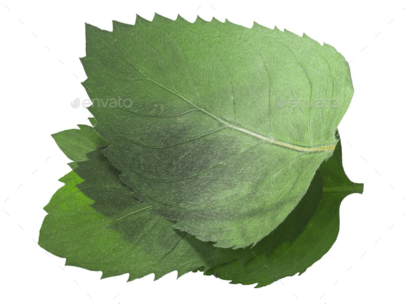 Dried flattened Mint leaves (Mentha piperita), isolated, top  view - Stock Photo - Images