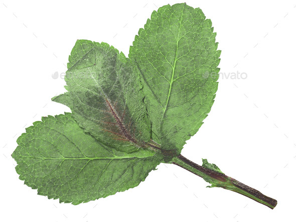 Dried flattened Peppermint leaves (Mentha piperita), isolated, top  view - Stock Photo - Images