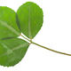 Dried flattened fenugreek leaves (Trigonella foenum-graecum), isolated,  top view - PhotoDune Item for Sale