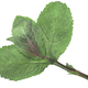 Dried flattened Peppermint leaves (Mentha piperita), isolated, top  view - PhotoDune Item for Sale