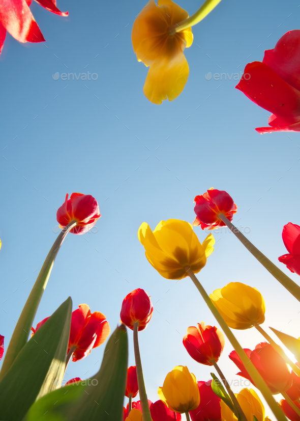 Tulips and clear sunny sky - Stock Photo - Images