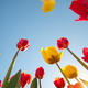 Tulips and clear sunny sky - PhotoDune Item for Sale