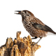 Wild spotted nutcracker sitting on stump illuminated by sun cut out on blank - PhotoDune Item for Sale