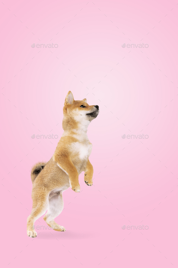 shiba inu pup on pink gradient - Stock Photo - Images