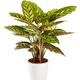 Variegated ornamental tricolor Calathea maranta plant in a white flowerpot - PhotoDune Item for Sale
