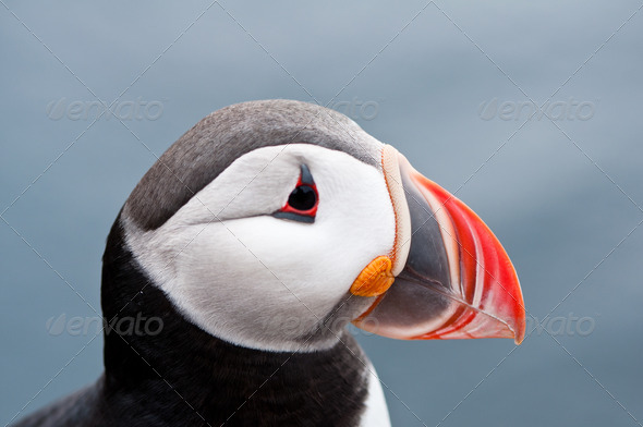 cute puffin bird close up portrait - Stock Photo - Images