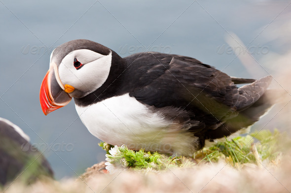 beautiful puffin bird nesting - Stock Photo - Images