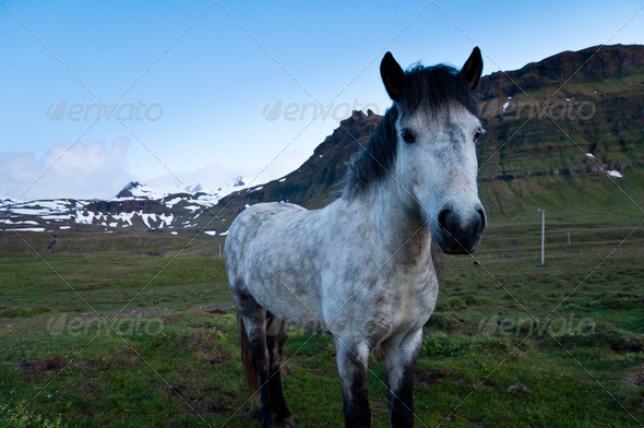 horses of Iceland - Stock Photo - Images