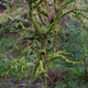 Highly branched tree covered with green moss - PhotoDune Item for Sale