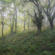 Light mist in a chestnut forest - PhotoDune Item for Sale