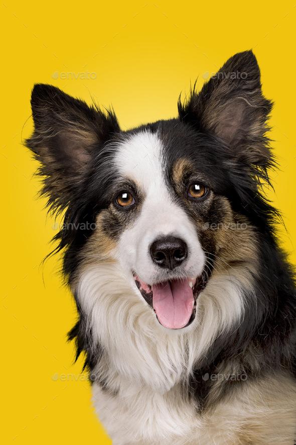 border collie portrait on gradient yellow - Stock Photo - Images