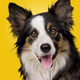 border collie portrait on gradient yellow - PhotoDune Item for Sale