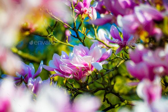 Closeup of beautiful magnolia flowers - Stock Photo - Images