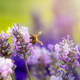 Bumblebee collecting pollen in lavender - PhotoDune Item for Sale