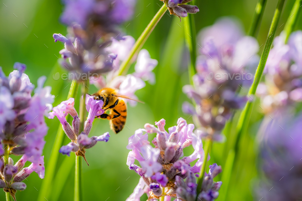 Bumblebee collecting pollen in lavender - Stock Photo - Images
