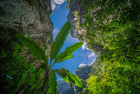 Large tropical plants growing in Wulong National Park - Stock Photo - Images