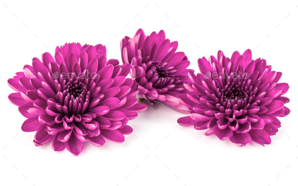 Lilac chrysanthemum flower isolated on white background - Stock Photo - Images