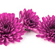 Lilac chrysanthemum flower isolated on white background - PhotoDune Item for Sale