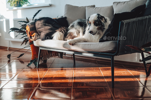 Domestic animal and human\'s friend sits on sofa and poses on camera