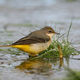 Grey wagtail (Motacilla cinerea) - PhotoDune Item for Sale