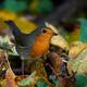 European robin (Erithacus rubecula) - PhotoDune Item for Sale