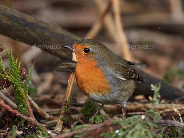 European robin (Erithacus rubecula) - Stock Photo - Images
