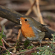 European robin (Erithacus rubecula) - PhotoDune Item for Sale