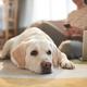 White Labrador Dog Waiting for Owner on Floor - PhotoDune Item for Sale