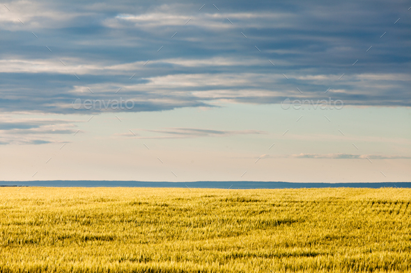 Ripe wheat field in evening sun under dramatic sky - Stock Photo - Images